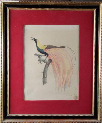 "Jacques BARRABAND (1768-1809) ""Birds of Paradise"" Pair of ornithological plates,..."