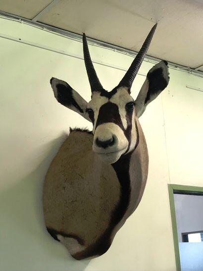 ORYX GEMSBOK du Kalahari  (Oryx gazella gazella)...
