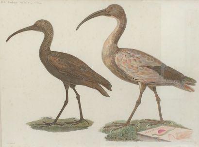 Deux lithographies en couleur d'oiseaux d'après...