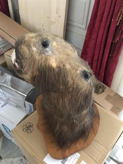 Capybara (Hydrochoerus hydrochaeris) (NR)...