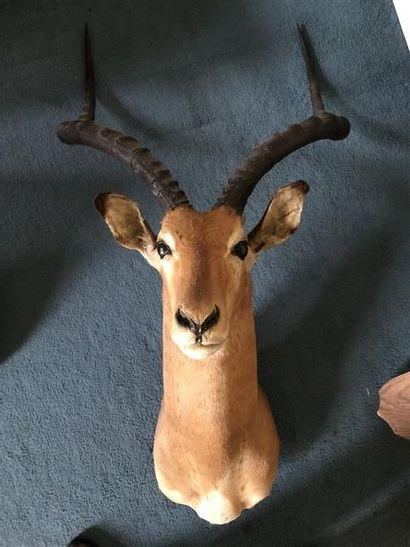 Impala (Aepyceros melampus) (CH) : tête en...