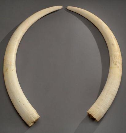 Paire de défenses d'éléphant prélevées en Côte d'ivoire. Long.: 131 et 124 cm. Circonférence:...