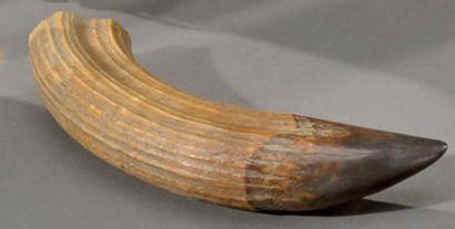 Dent d'hippopotame L: 14 cm