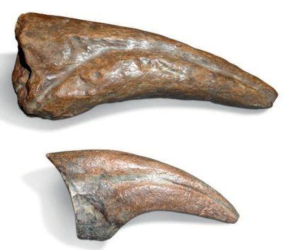 Deux griffes de dinosaure dont Tyrannosaurus...
