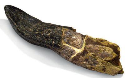 Dent de Camarasaurus. Jurassique supérieur...