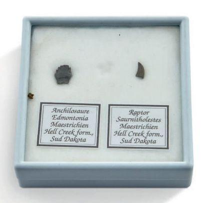 Lot d'une dent d'Ankylosaure et d'une dent de Raptor (Saurornitholeste).Maastrichtien,...