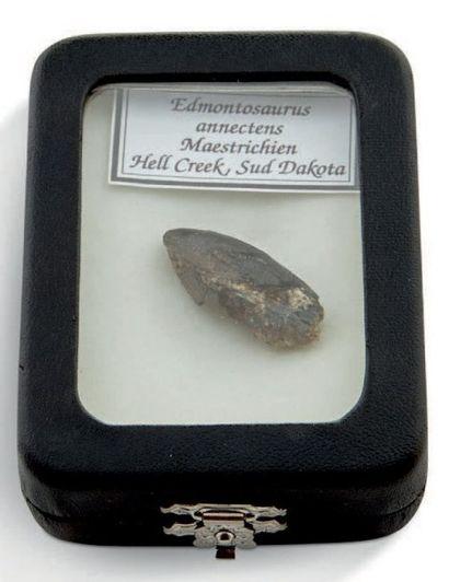 Dent d'Edmontosaurus annectens- Maastrichtien,...