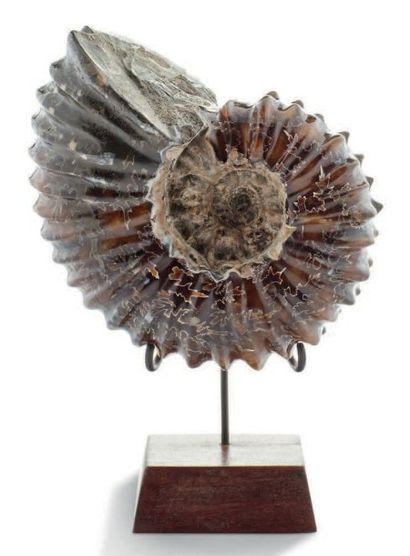 Ammonite Perisphinctes, Oxfordien, Jurassique,...