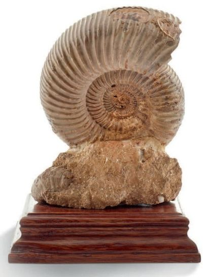 Ammonite Perisphinctes nacrée, présentée...