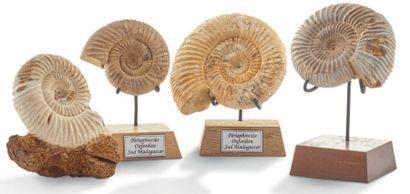 Collection de quatre ammonites Perisphinctes....