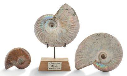Collection de trois Ammonite Cleoniceras nacrées. Albien, Majunga, Madagascar. Diamètre:...