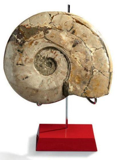 Grande ammonite Cleoniceras nacrée. Albien,...