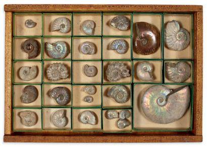 Coffret contenant une collection de 25 ammonites....