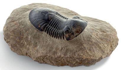 Trilobite Paralejurus dormitzeri, Dévonien moyen, Alnif, Maroc Dimension: 7,2 c...
