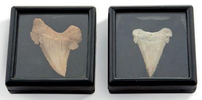 Lot de deux dents de Palaeocarcharodon- Khouribga....