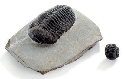 Trilobite Phacops, Dévonien, Erfoud, Maroc, avec un juvénile Dimension: 8 cm, sur...