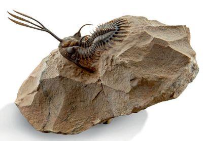 Très belle Trilobite Wallicerops trifurcatus....