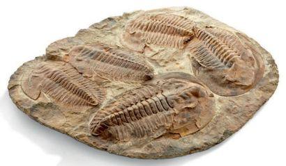 Une plaque de trilobite Andalousiana présentant...
