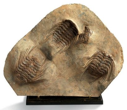 Une belle plaque de quatre trilobites Selenopeltis...