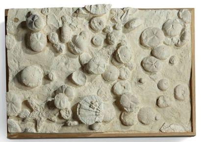 Très belle et grande plaque de Tripneuste...