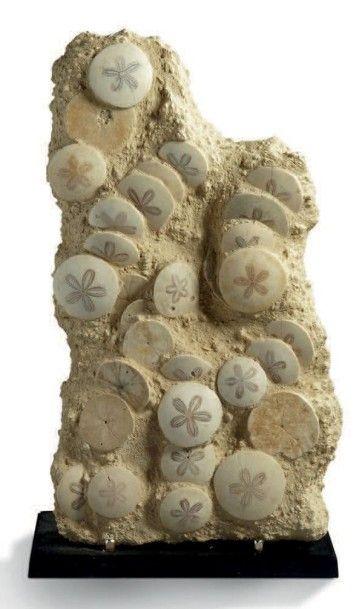 Plaque de Scutelle, Scutella stelatta, Miocene,...