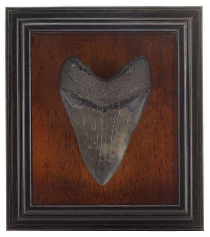 Une dent de Carcharodon megalodon Miocène...