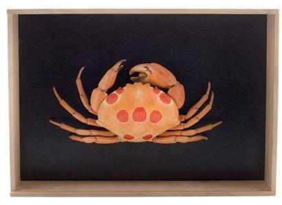 Un crabe Carpilus maculatus ou crabe à taches rouges, océan Indien et Pacifique...