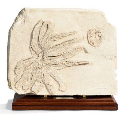 Etoile de mer Acanthaster, cénozoïque, Miocène,...