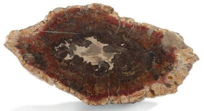 Tranche de bois fossile Forme ovale. Dimensions:...