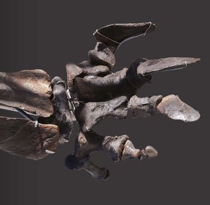 EXCEPTIONNEL SQUELETTE D'UN PROCHE PARENT DU DIPLODOCUS KIMMERIDGIEN (-157,3 À -152,1...