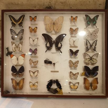 Collection of naturalized butterflies, as is