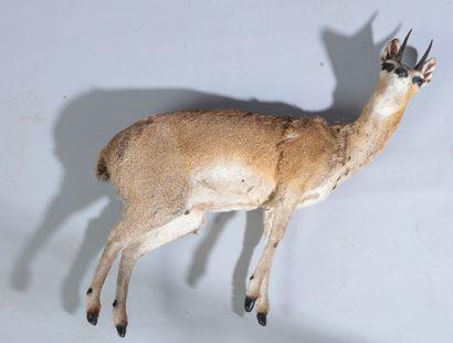 Antilope musquée naturalisée entière, Neotragus...