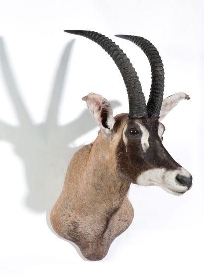 Tête en cape d'Antilope rouanne, Hippotragus...