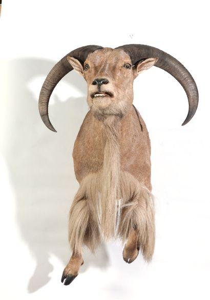 Moitié antérieure naturalisée de Mouflon...