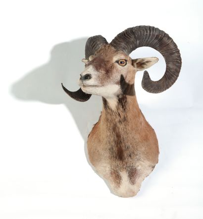 Tête en cape de Mouflon de Corse, Ovis a...