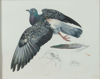 Martin KNOWELDEN (1943). Le pigeon. Aquarelle...