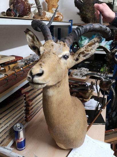 Trois trophées d'impala montés en cape. Usures...
