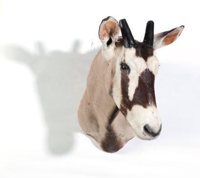 Tête en cape d'Oryx, Oryx gazella.