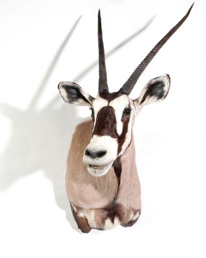 Tête en cape d'Oryx gazelle, Oryx gazell...