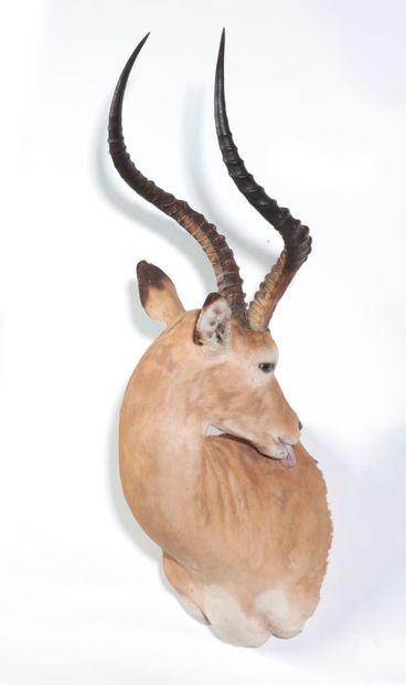 Tête en cape d'Impala naturalisée en position...