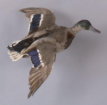 Canard colvert naturalisé en vol.