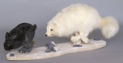 Renard polaire naturalisé courant après un...