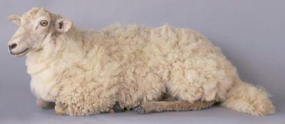 Mouton naturalisé couché.