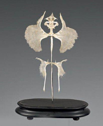 Squelette de raie sous globe. H: 53 cm
