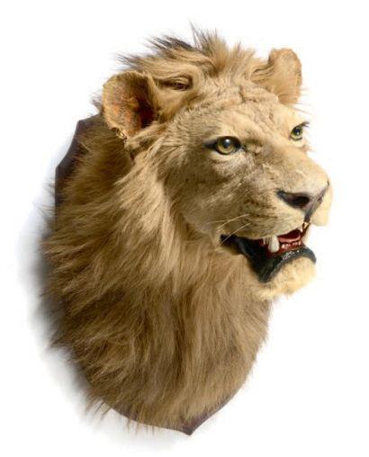Tête de lion naturalisée. 58 x 72 cm