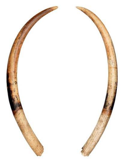 ÉLÉPHANT d'AFRIQUE Loxodonta africana (I/A)...