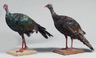 Dindon ocellé (Agriocaris ocellata) Beaucoup...