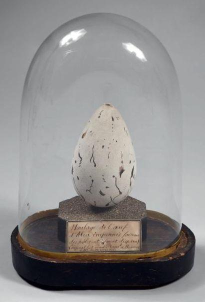 Grand Pingouin (Pinguinus ou Alca impennis) Famille des Alcidae. Espèce aujourd'hui...