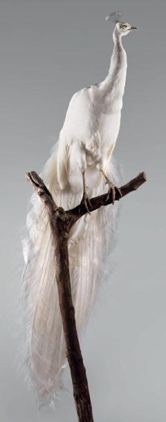 Paon blanc (Pavo cristatus) Forme d'élevage...