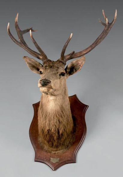 Grande tête de cerf dix corps naturalisée,...